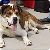 Adopt A Pet :: Baxter - Kansas City, MO