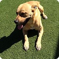 Adopt A Pet :: Gucci - San Francisco, CA