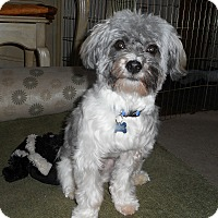 Adopt A Pet :: Wicket - Adoption Pending - Gig Harbor, WA