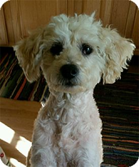 Bichon Frise Mix Dog for adoption in Spring City, Tennessee - Missy Angel