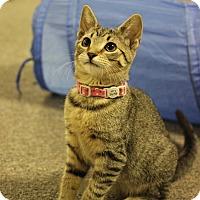 Domestic Shorthair Kitten for adoption in Carlisle, Pennsylvania - Miso