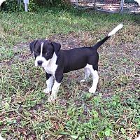 Adopt A Pet :: FRANKLIN - Odessa, FL