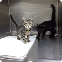 Domestic Shorthair Kitten for adoption in Osceola, Arkansas - NICKY AND BETTY SUE