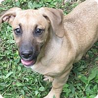 Basset Hound/Labrador Retriever Mix Puppy for adoption in Allentown, Pennsylvania - Lexi