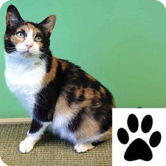 Domestic Shorthair Cat for adoption in Suwanee, Georgia - Fern