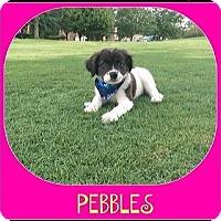 Adopt A Pet :: PEBBLES - Milton, GA