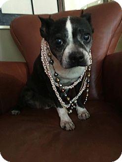 Boston Terrier Dog for adoption in Weatherford, Texas - Geneva