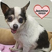 Adopt A Pet :: 391221 Jasmine - San Antonio, TX