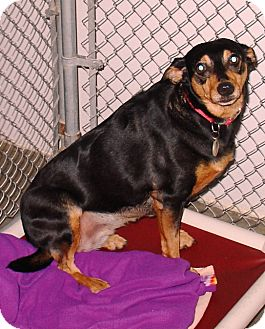 Manchester Terrier/Hound (Unknown Type) Mix Dog for adoption in Kalamazoo, Michigan - Bailey
