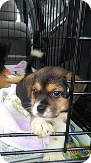 Shepherd (Unknown Type) Mix Puppy for adoption in Monroe, North Carolina - Harrison