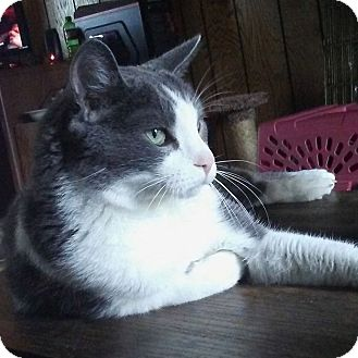 Domestic Shorthair Cat for adoption in Minneapolis, Minnesota - Orville