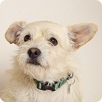 Adopt A Pet :: Scrambler - Walnut Creek, CA