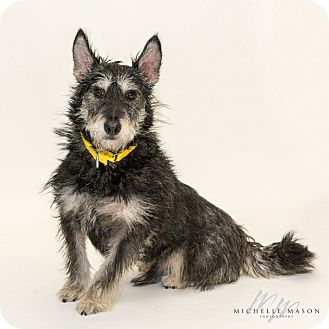 Scottie, Scottish Terrier/Schnauzer (Miniature) Mix Dog for adoption in Naperville, Illinois - Shadow