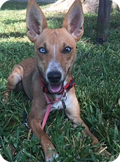 Basenji Mix Dog for adoption in Davie, Florida - Gidget