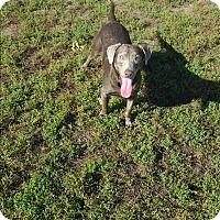 Labrador Retriever/Weimaraner Mix Dog for adoption in Indianola, Iowa - K10