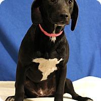 Adopt A Pet :: Brandy - Waldorf, MD