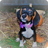 Adopt A Pet :: Black Widow - Waupaca, WI
