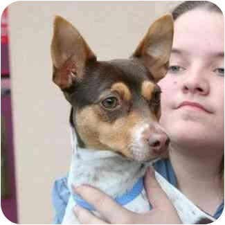 Rat Terrier Mix Dog for adoption in Berkeley, California - Millie