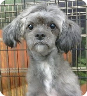 shih tzu and poodle mix periwinkle adopted dog periwinkle orlando fl 7211