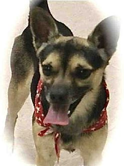 Chihuahua/Rat Terrier Mix Dog for adoption in Lufkin, Texas - Murphy