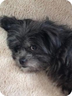 willow adopted dog plainfield il shih tzucairn