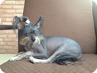 Chinese Crested Dog for adoption in Hamburg, Pennsylvania - Izzy Bare