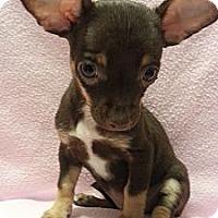 Adopt A Pet :: Rolo - Bridgeton, MO