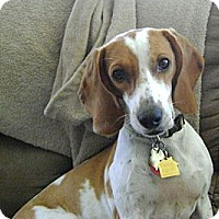 Adopt A Pet :: Angel - Novi, MI