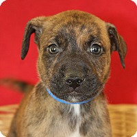 Adopt A Pet :: Dasher - Waldorf, MD