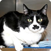 Adopt A Pet :: Gravey Kat - Brigham City, UT