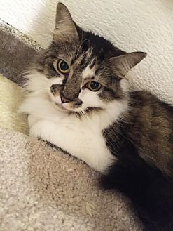 Domestic Mediumhair Cat for adoption in Boca Raton, Florida - Dee