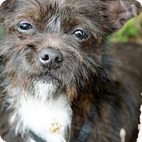 Adopt A Pet :: Suzie Q - El Segundo, CA