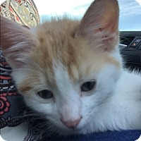 Domestic Shorthair Kitten for adoption in Greensburg, Pennsylvania - Layne