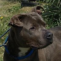 Pit Bull Terrier Mix Dog for adoption in Monroe, Michigan - Gordie - Adoption Pending