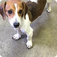 Adopt A Pet :: FRANNIE - Cadiz, OH