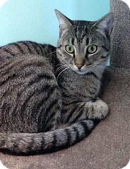 Domestic Shorthair Cat for adoption in Fairfax, Virginia - Ace