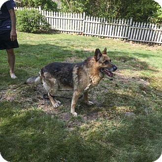 German Shepherd Dog Dog for adoption in Vineland, New Jersey - Rex
