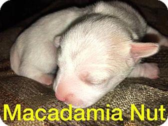 Chihuahua Mix Puppy for adoption in Tucson, Arizona - Sugar Cookie's puppy Macadamia Nut