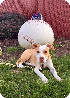 Pit Bull Terrier/Labrador Retriever Mix Puppy for adoption in Cleveland, Ohio - Twinkie