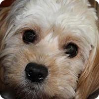 Lhasa Apso/Maltese Mix Dog for adoption in Las Vegas, Nevada - Esmeralda