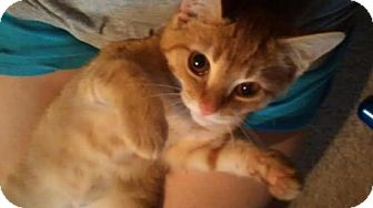 Domestic Shorthair Kitten for adoption in Greensboro, North Carolina - Butters