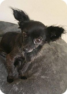 Papillon/Chihuahua Mix Dog for adoption in Los Angeles, California - Oreo