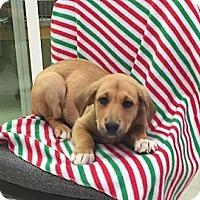 Adopt A Pet :: Pebbles - Spring Valley, NY