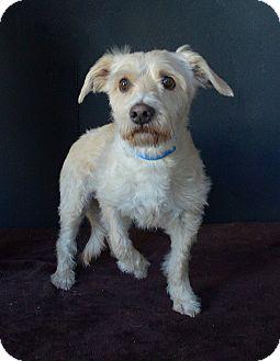 Terrier (Unknown Type, Medium) Mix Dog for adoption in Van Nuys, California - Lexi