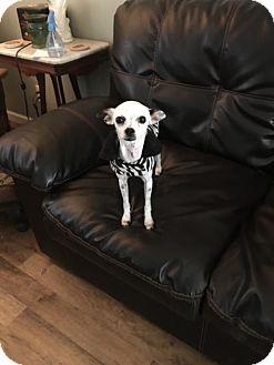 Chihuahua Mix Dog for adoption in Healdsburg, California - Spickles