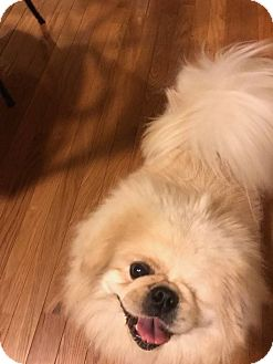 Pekingese Dog for adoption in Portland, Maine - Patchy