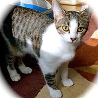 Domestic Shorthair Kitten for adoption in Franklin, Indiana - Katydid