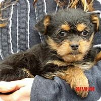 Adopt A Pet :: Prada (3 lb) Video! - Niagara Falls, NY