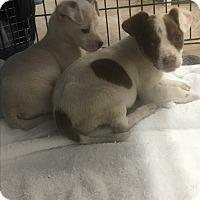 Adopt A Pet :: Jamie - Harleysville, PA