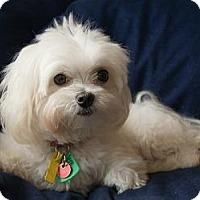 Adopt A Pet :: CHLOE - ROCKMART, GA